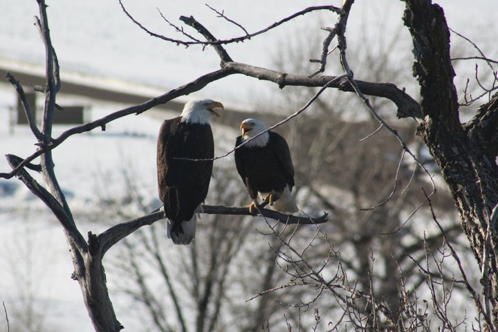 eagles-on-our-walk